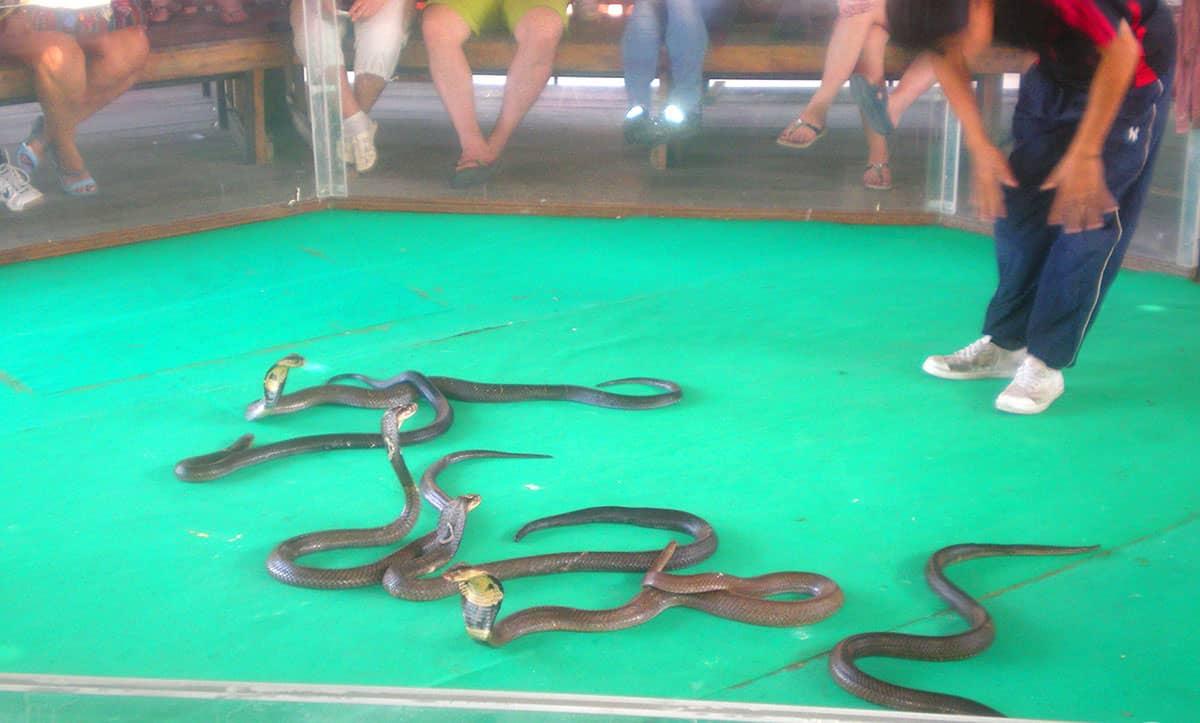Захватывающее шоу со змеями в тайланде