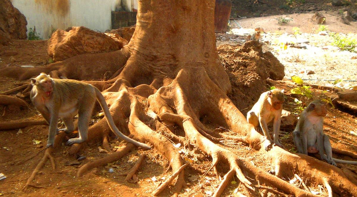 В Храме Обезьян живет очень много обезьян